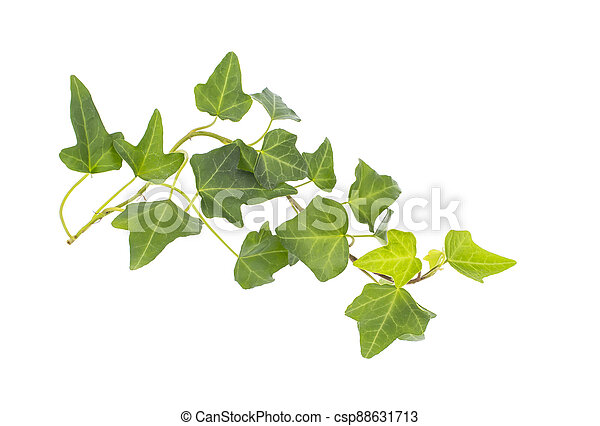 ivy isolated on a white background. - csp88631713