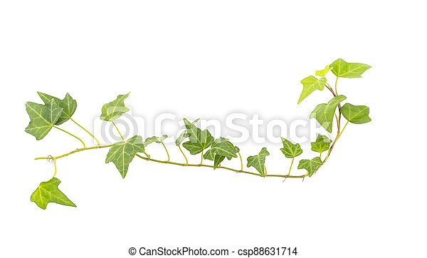 ivy isolated on a white background. - csp88631714