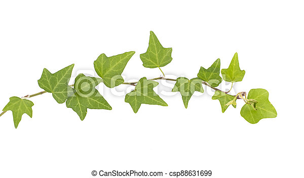 ivy isolated on a white background. - csp88631699
