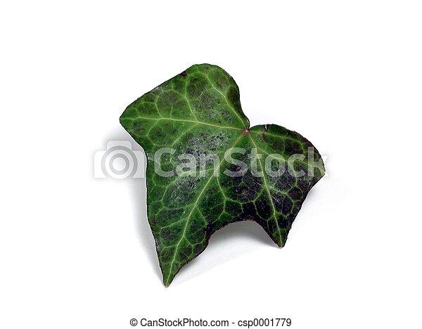 Ivy Leaf - csp0001779