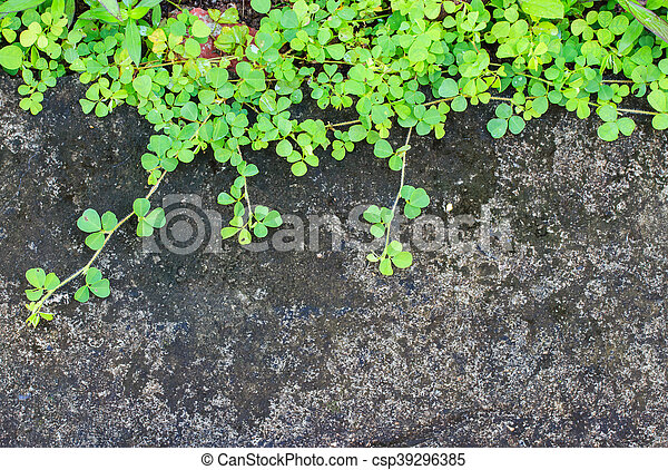 Ivy leaves on a wall background. - csp39296385