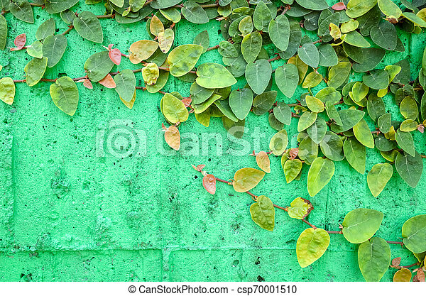 ivy leaves on green cement wall - csp70001510