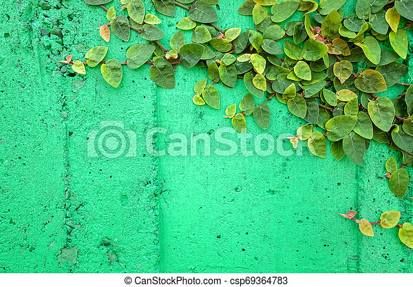 ivy leaves on green cement wall - csp69364783