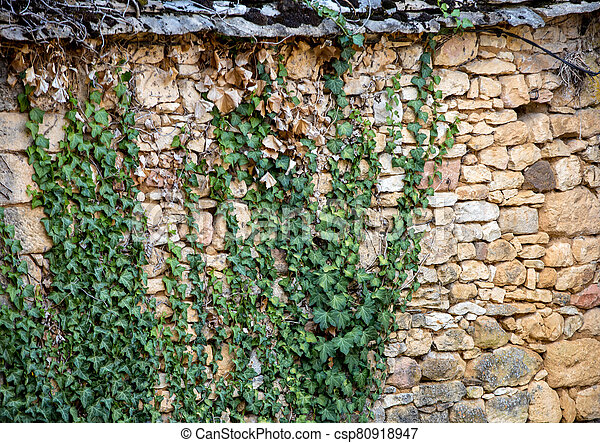 Ivy leaves on the stone old wall - csp80918947