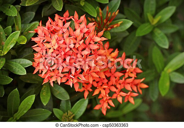 Lục Bát Hoa ĐV - Page 25 Ixora-coccinea-stock-image_csp50363363