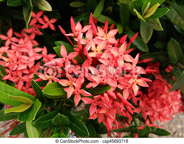Ixora flower in garden summer season - csp45693718