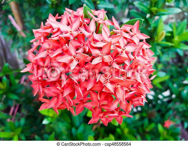 Ixora flowerd spike flower king ixora blooming ixora chinensis mightylinksfo