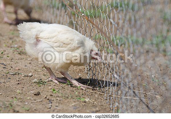 Jünger, draht, stift, masche, küken, huhn. Jünger, hühner, gefüttert ...
