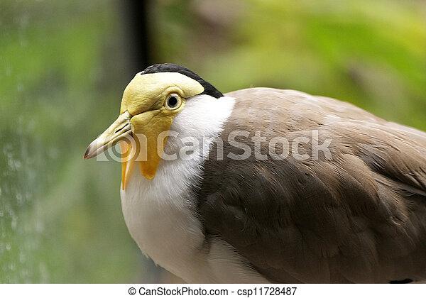 jabot image gris jaune grand poitrine petit oiseau images rechercher photographies. Black Bedroom Furniture Sets. Home Design Ideas