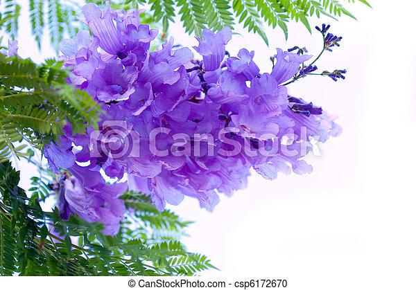 jacaranda, fleurs - csp6172670