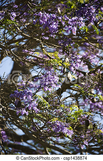 Jacaranda Tree In Maui Hawaii Close Up Of Jacaranda Tree Blooming With Purple Flowers In Maui Hawaii Canstock