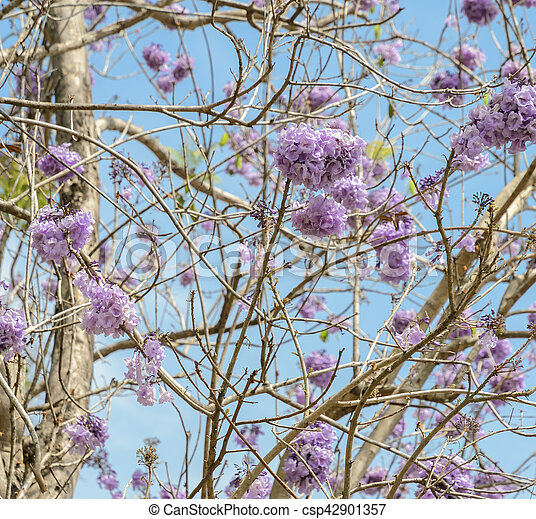 Jacaranda Tree With Lilac Blossom Jacaranda Tree With Bunches Of Purple Flower In Full Bloom Canstock