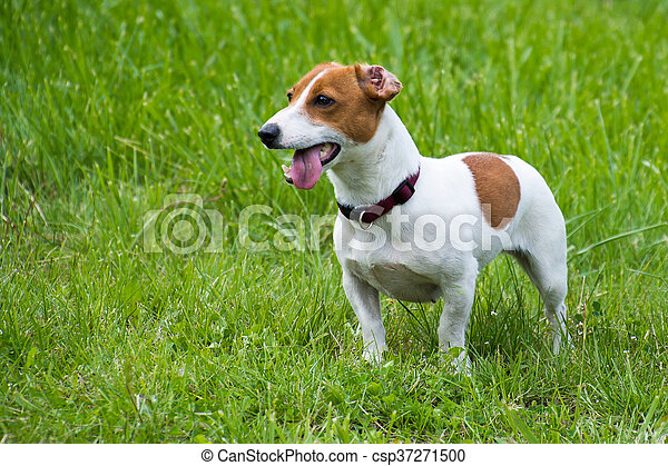 jack russel terrier on green lawn - csp37271500