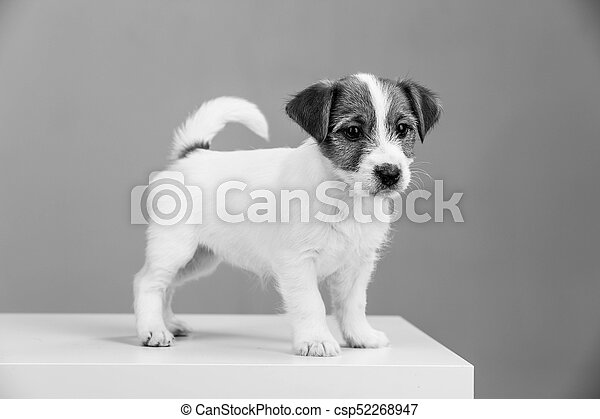 Jack Russell Puppy In Black And White Close Up Popular Animals Jack Russell Puppies British Dog Breeds Human S Friend