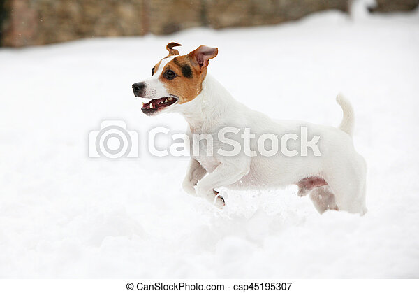Adorable jack russell terrier jumping in winter