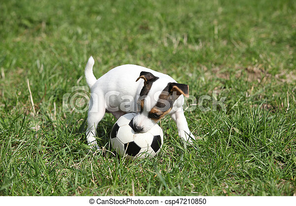 Jack russell terrier puppy playing with a ball on the grass