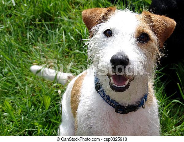 jack russell terrier - csp0325910