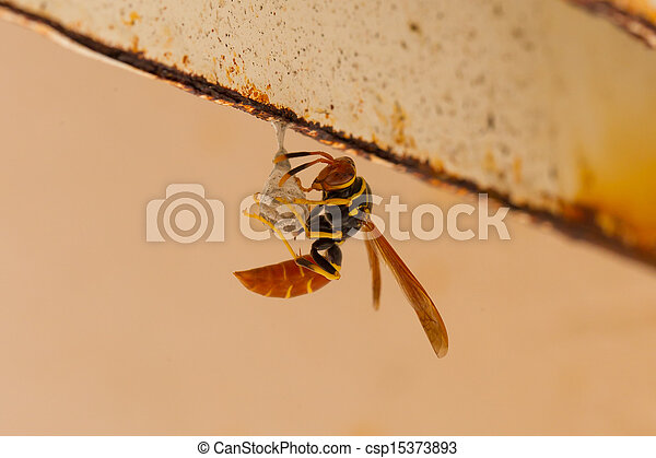 Jack Spaniard wasp building a small nest - csp15373893