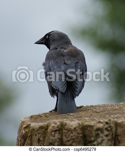 Jackdaw - Corvus monedula - csp6495279