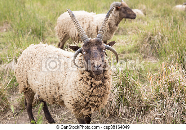 Jacobs sheeps on a meadow - csp38164049