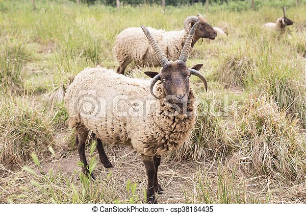 Jacobs sheeps on a meadow - csp38164435