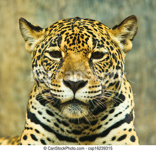 Jaguar And Lived In Central America And South America   Csp16239315