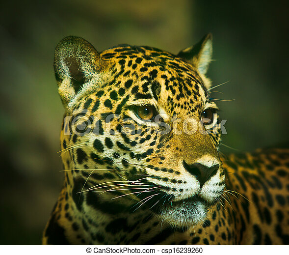 Jaguar And Lived In Central America And South America   Csp16239260