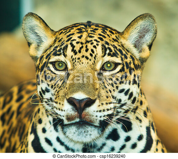 Jaguar And Lived In Central America And South America   Csp16239240