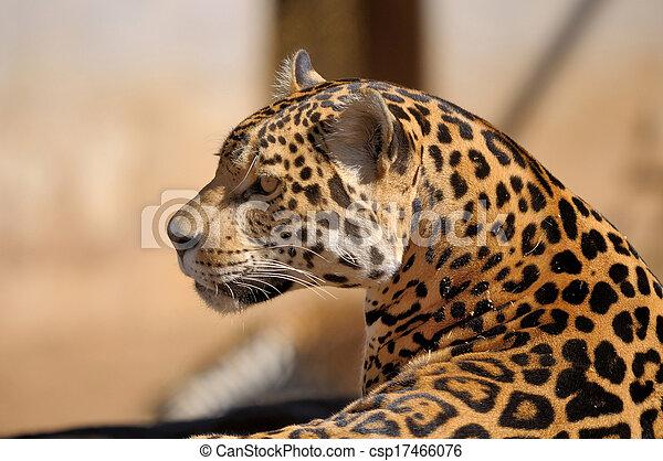 Jaguar - csp17466076