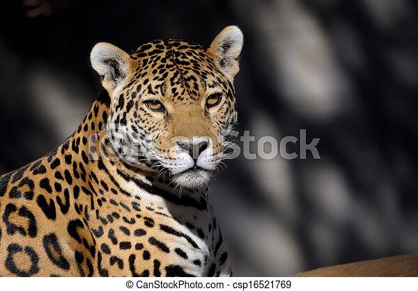 Jaguar - csp16521769
