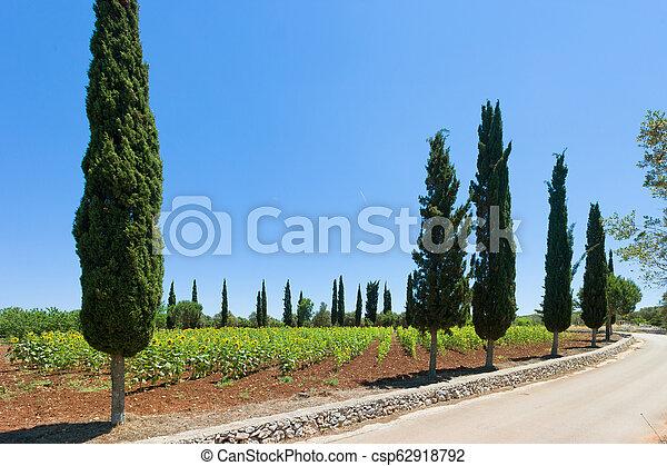 jahreszeit, -, terme, feld, sonnenblumen, santa, apulia, cesarea, ernte, vorher - csp62918792