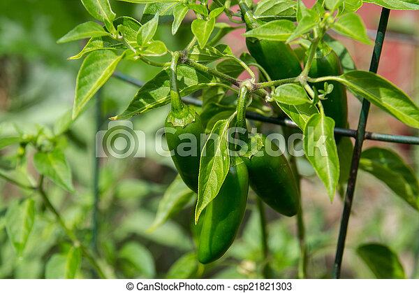 jalapeno pepper plant in garden - csp21821303