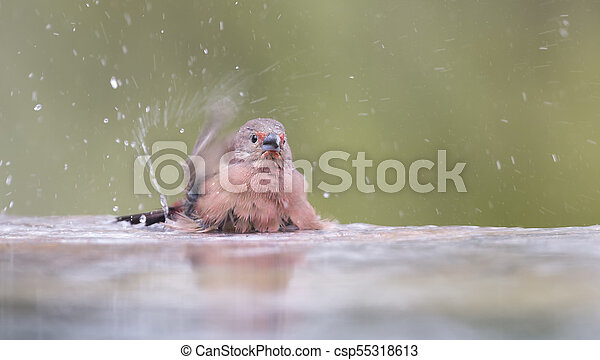 Jameson's Firefinch having a bath to cool down in a pool - csp55318613