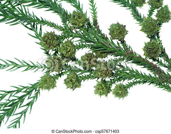 Japanese Cedar On White Background Cryptomeria Japonica