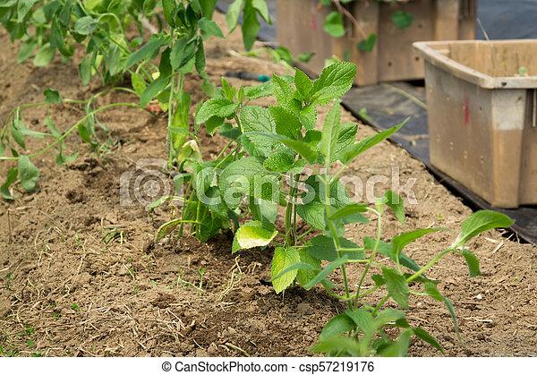 japanese crosne plant growing - csp57219176