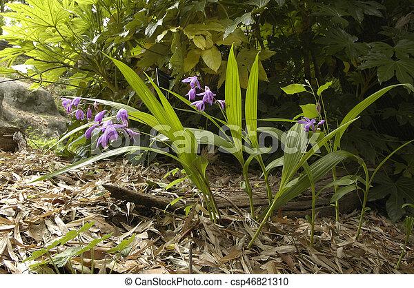 Japanese Forest Grass (Hakonechloa macra 'Aureola') - csp46821310