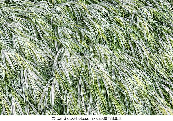 Japanese Forest Grass - csp39733888