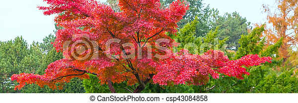 Japanese garden with red maple - csp43084858