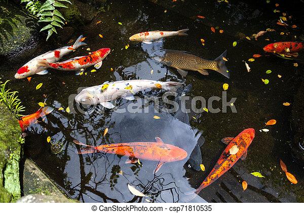 Japanese Koi Carps Beautiful Pond With Japanese Colorful Koi Carp Fish
