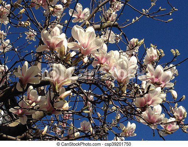 Japanese Magnolia Blossoms With Blue Sky Symbolic Of Spring Birth