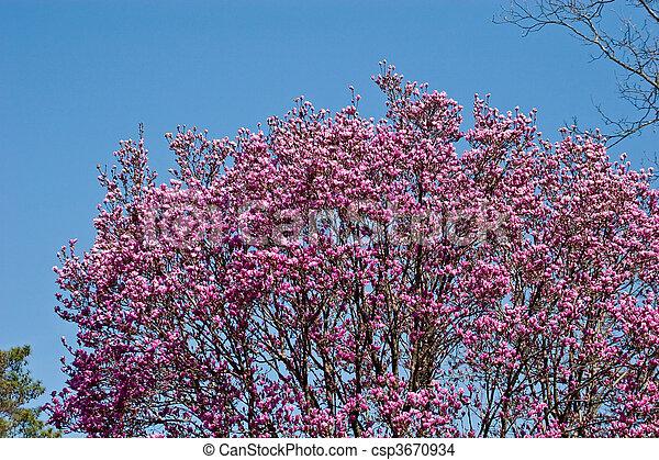 Japanese Magnolia Tree In Full Bloom A Japanese Magnolia Tree In