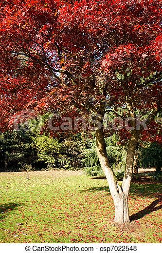 Japanese Maple (acer palmatum) growing in East Grinstead - csp7022548
