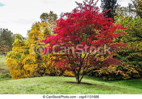 Japanese Maple (Acer palmatum) in Autumn Colours - csp41131688