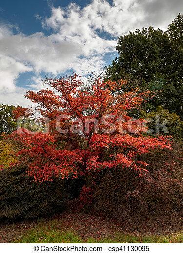 Japanese Maple (Acer palmatum) in Autumn Colours - csp41130095