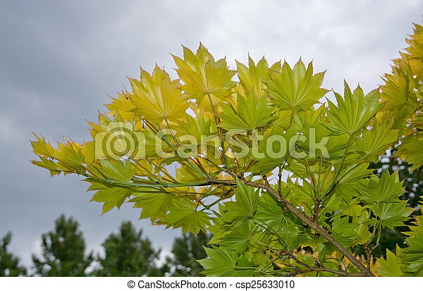 Japanese maple leaves - csp25633010