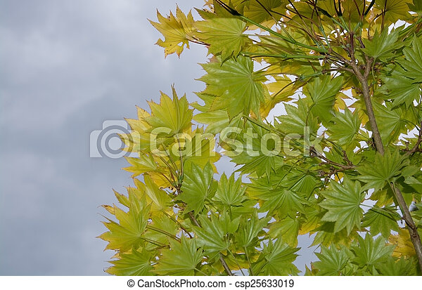 Japanese maple leaves - csp25633019