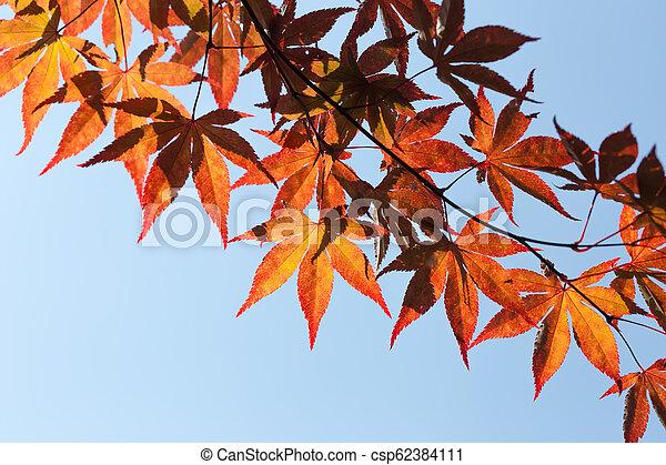 Japanese Maple Leaves - csp62384111