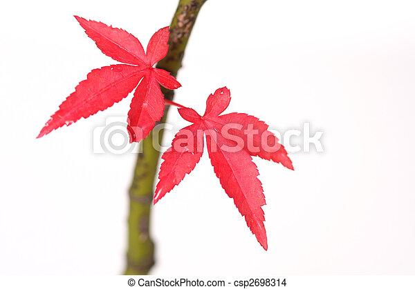 Japanese Maple Leaves - csp2698314