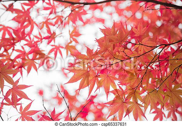 Japanese Maple Leaves - csp65337631