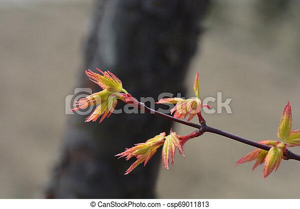 Japanese Maple - csp69011813